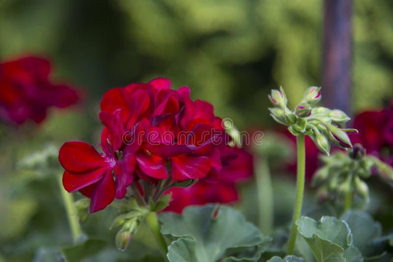 bodziszek ogrodowa czerwie? zdjęcie stock