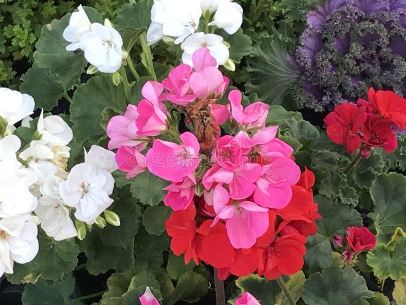 Bodziszek przy kwiatu sklepem fotografia royalty free