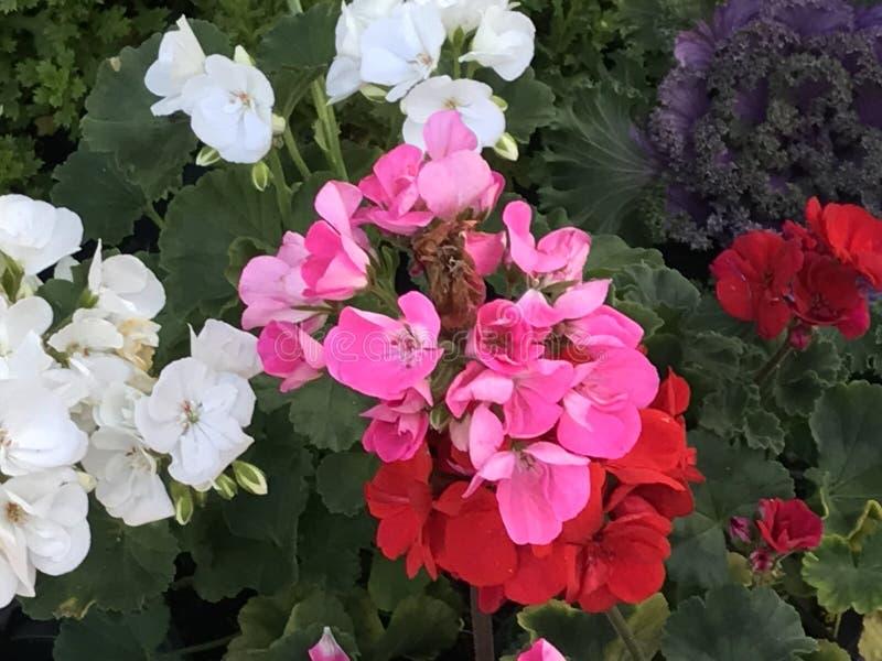 Bodziszek przy kwiatu sklepem zdjęcie stock