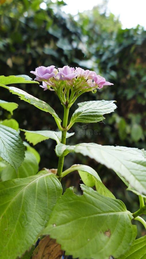 Bodziszek z różowymi kwiatami zdjęcie royalty free