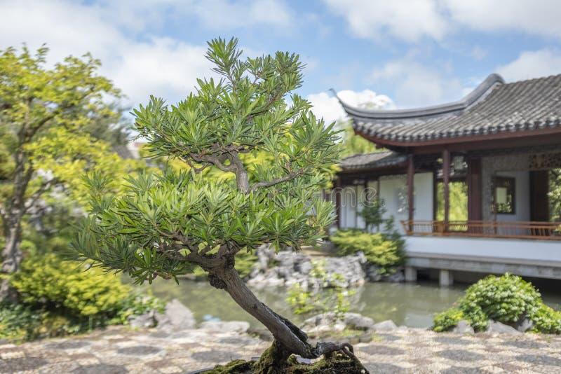 Boeddhistische Pijnboom met hellende boomstam populair met het penjing van enthousiasten stock fotografie