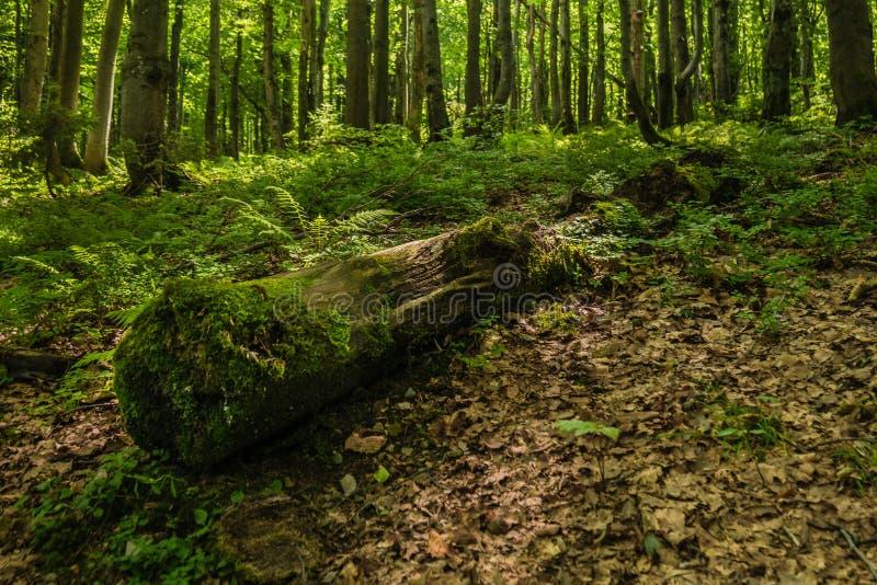 Boeg van bomen die met mos in het bos worden behandeld stock fotografie