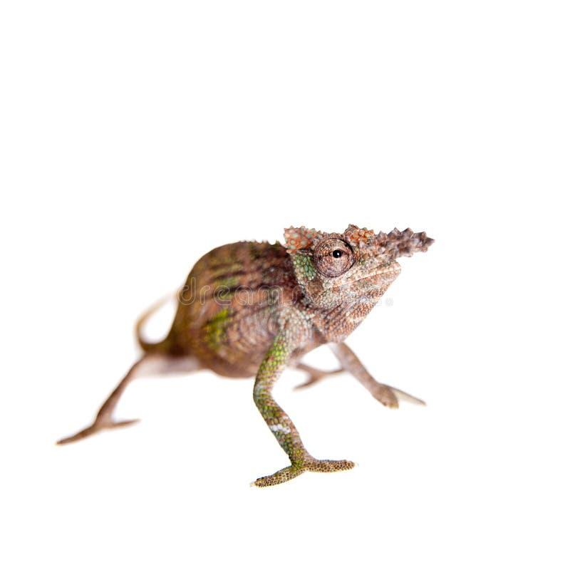 Boehme's chameleon, kinyongia boehmei, on white stock photos