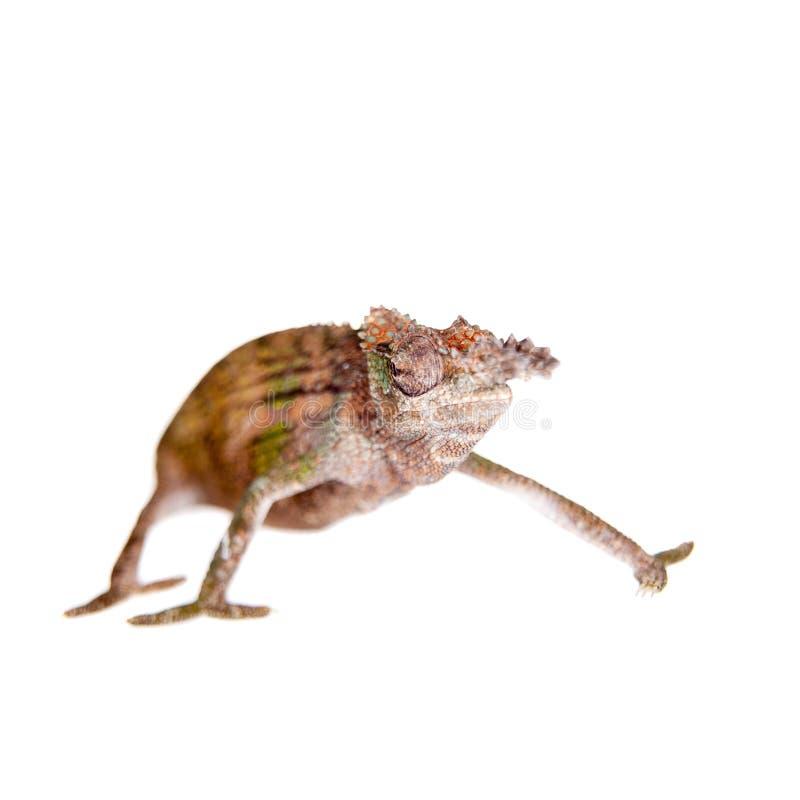 Boehme's chameleon, kinyongia boehmei, on white stock photo