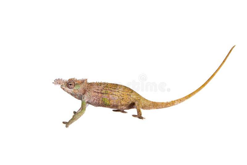 Boehme's chameleon, kinyongia boehmei, on white royalty free stock photography