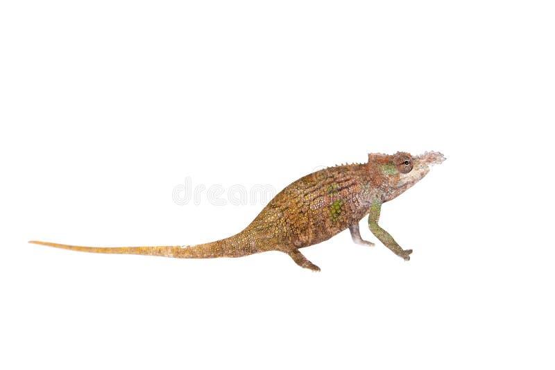 Boehme's chameleon, kinyongia boehmei, on white royalty free stock photo