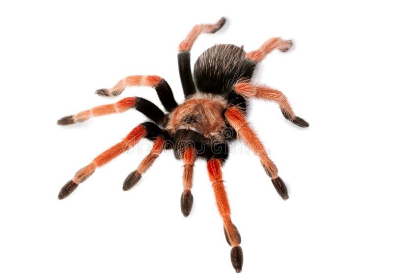 Boehmei de Brachypelma d'araignée image libre de droits