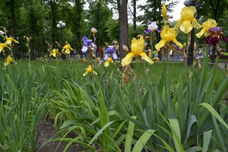 Boeket in het park van gele, blauwe irissen stock afbeeldingen