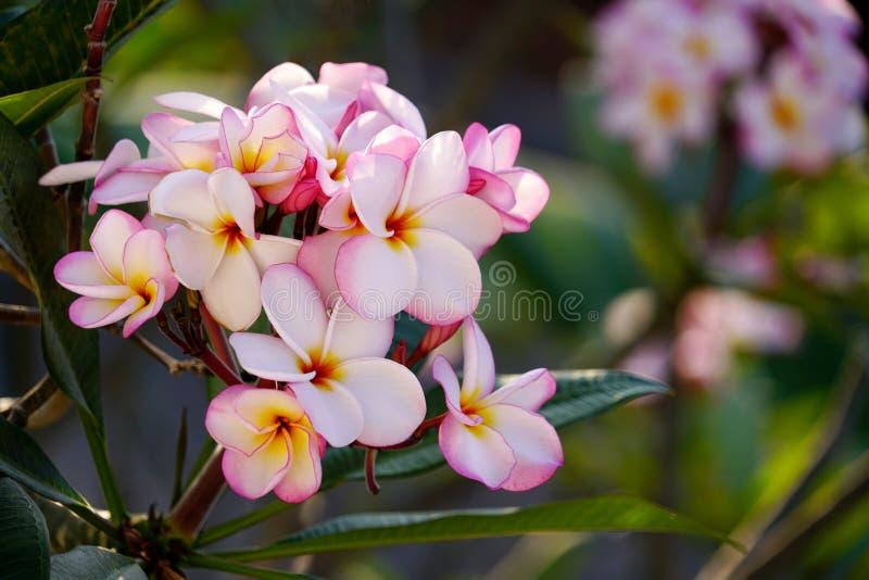 Boeket roze plumeria of frangipanabloem die op boom bloeien stock afbeelding