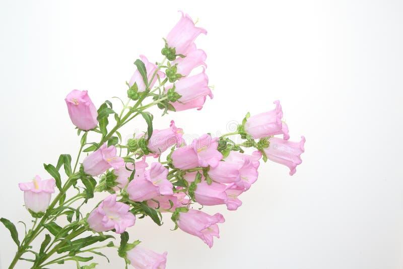 Boeket van bellflower op een witte achtergrond royalty-vrije stock afbeeldingen