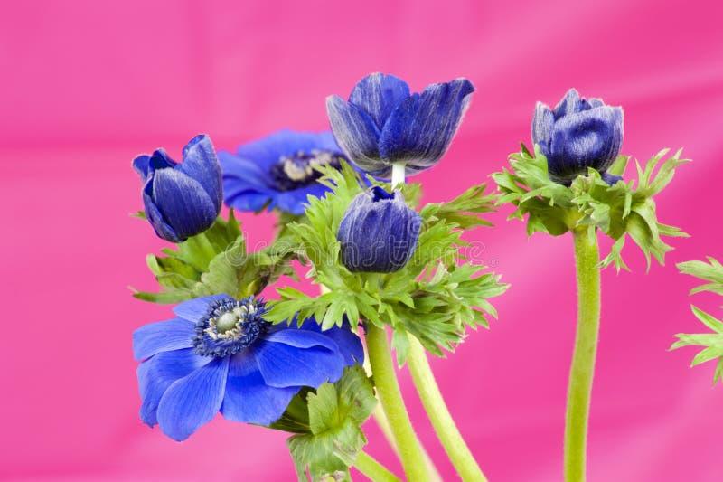 Boeket van blauwe windflowers op roze achtergrond royalty-vrije stock afbeelding