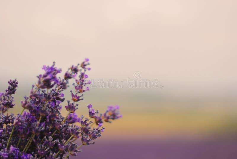 Boeket van bloeiende lavendel tegen de achtergrond van een lavendel stock fotografie