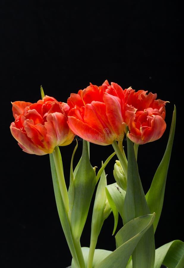 Boeket van de verse bloemen van de lente rode tulpen stock fotografie