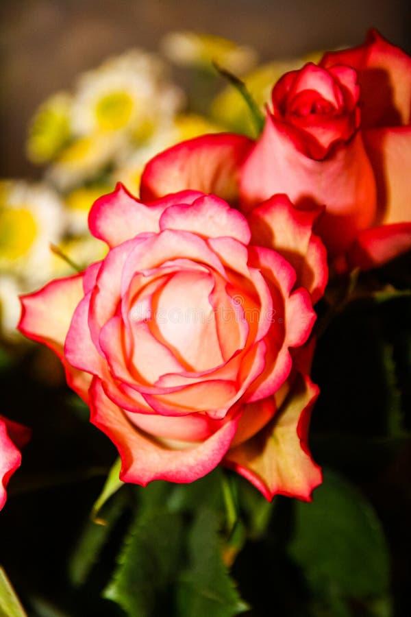 Boeket van donkere roze rozen royalty-vrije stock afbeelding