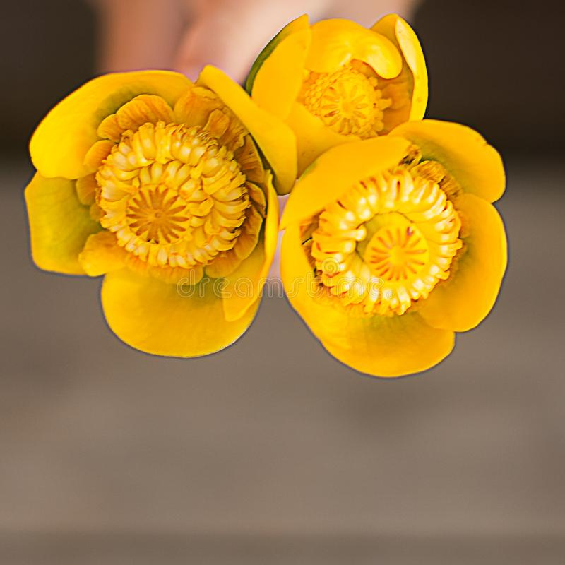 Boeket van drie gele waterlelies op vierkante achtergrond royalty-vrije stock afbeelding