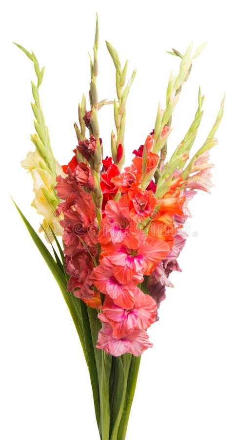 boeket van geïsoleerde gladiolen stock foto