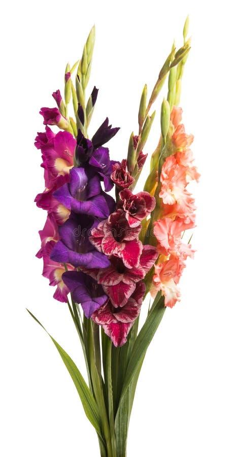 boeket van geïsoleerde gladiolen stock afbeelding