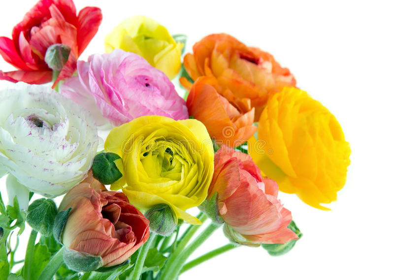 Kleurrijke ranunculus bloemen stock foto
