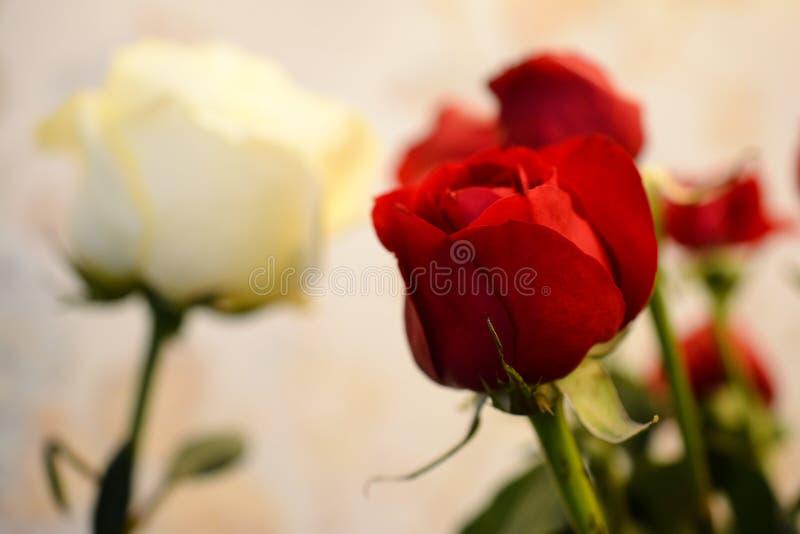 Boeket van levendige rode rozen, bloemenachtergrond Bloemen van hybride theerozen met scharlaken en witte gevoelige bloemblaadjes stock fotografie