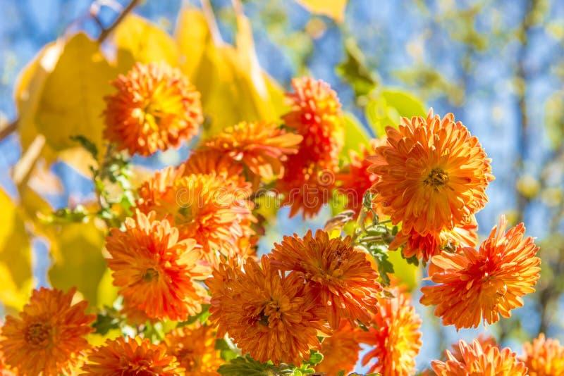Boeket van oranje chrysanten royalty-vrije stock afbeeldingen