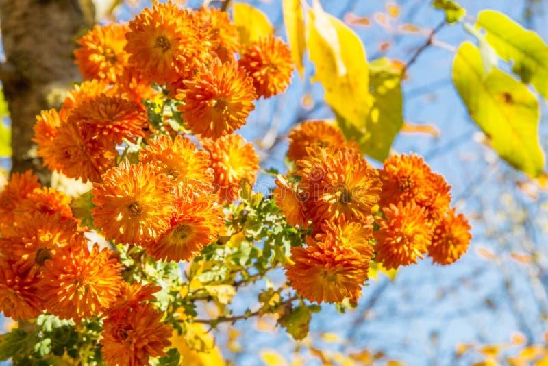 Boeket van oranje chrysanten op de herfstdag stock afbeeldingen