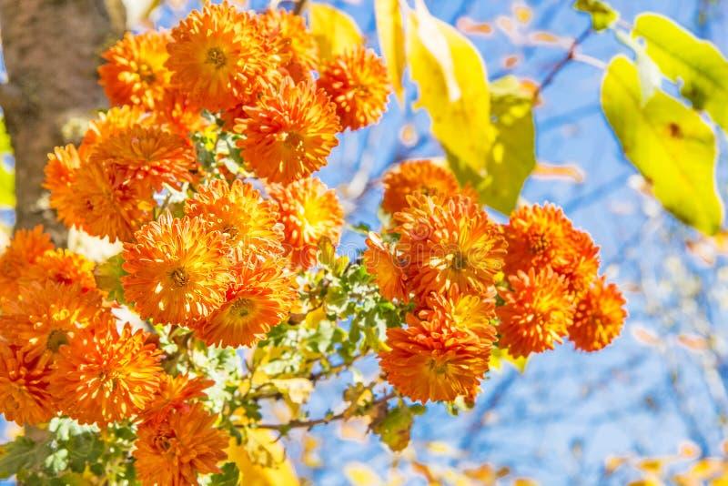 Boeket van oranje chrysanten op een zonnige de herfstdag royalty-vrije stock foto's