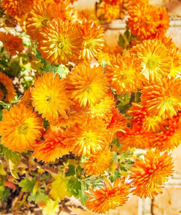 Boeket van oranje de herfstchrysanten royalty-vrije stock afbeelding