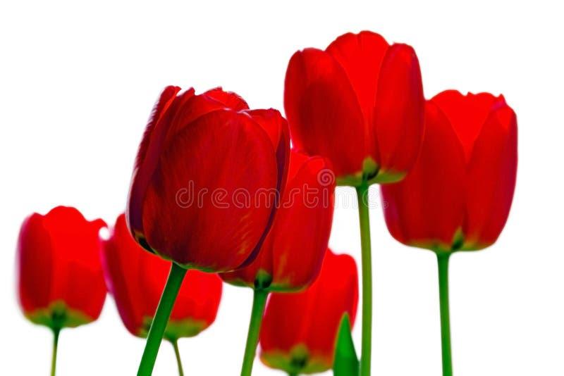 Boeket van rode die tulpen op wit worden ge?soleerd stock afbeelding
