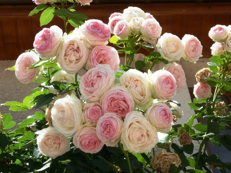 Boeket van romantische bleke rozen royalty-vrije stock fotografie