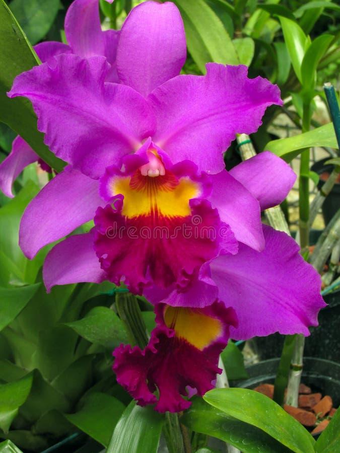 Boeket van roze Orchidee Phalaenopsis op een achtergrond van bladeren in een tropische tuin stock afbeelding