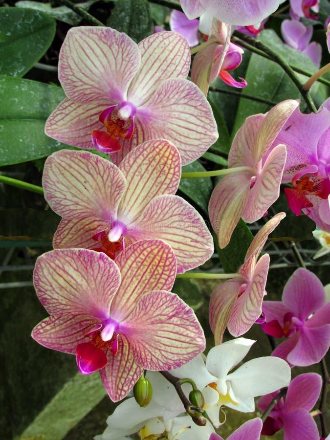 Boeket van roze Orchidee Phalaenopsis op een achtergrond van bladeren in een tropische tuin stock afbeeldingen