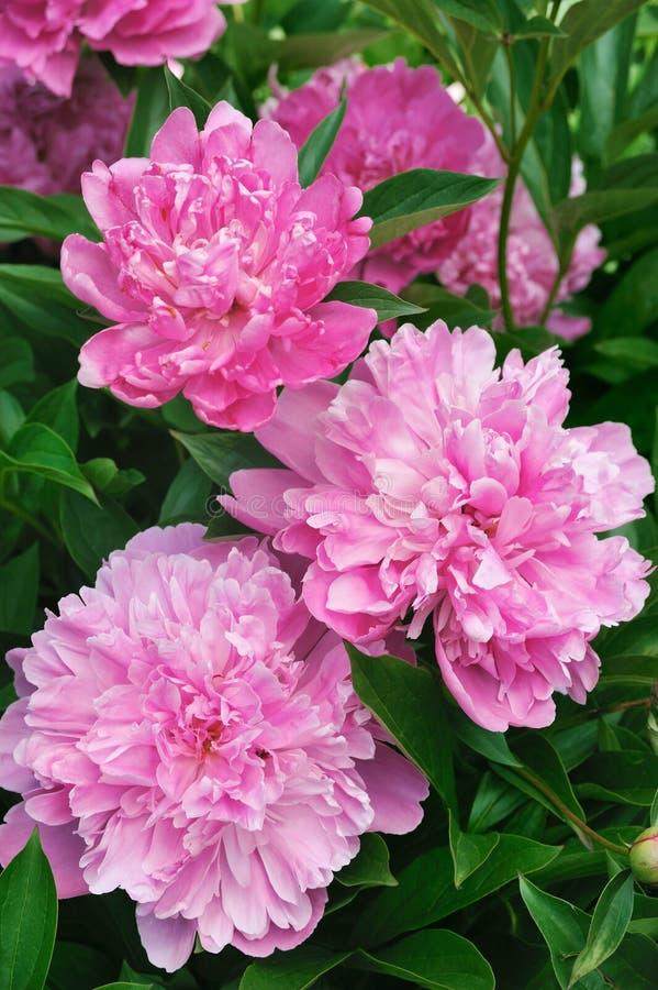 Boeket van roze pioenen royalty-vrije stock afbeelding