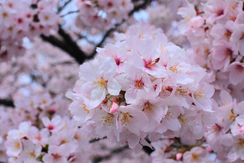 Boeket van sakura stock foto's