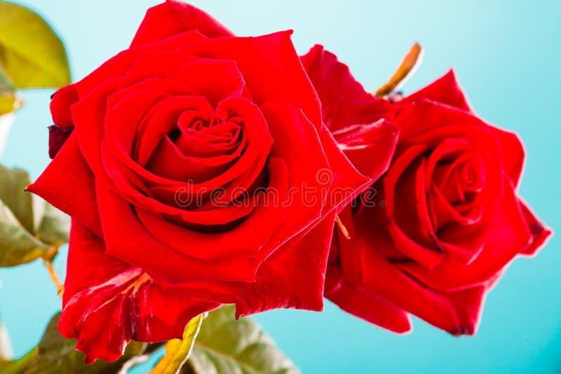 Boeket van tot bloei komende rode rozenbloemen op blauw stock foto