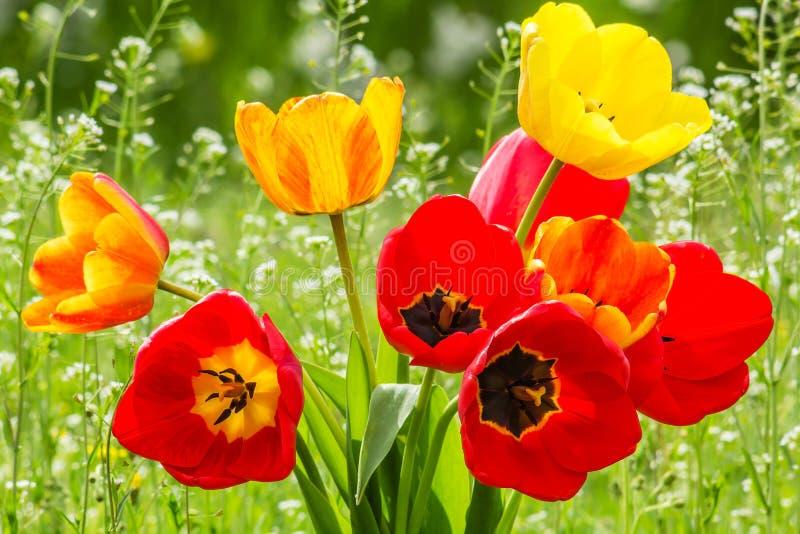 Boeket van tulpen op de backlit de lenteweide, stock afbeelding