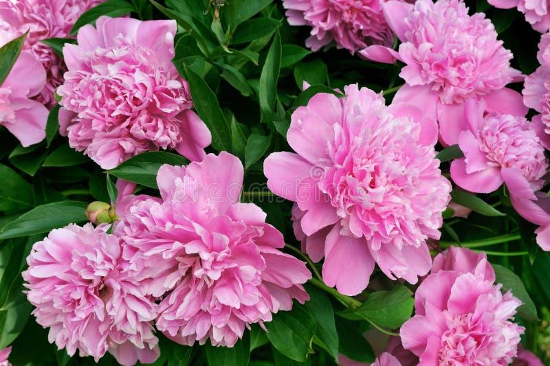 Boeket van verse roze pioenen stock foto's