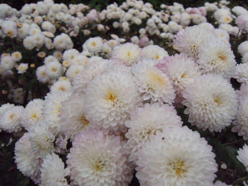 Boeket van witte chrysanten Van de achtergrond jaarboekchrysant de herfstkaart Bloemenachtergrond in de tuin Witte bloemen binnen royalty-vrije stock afbeelding
