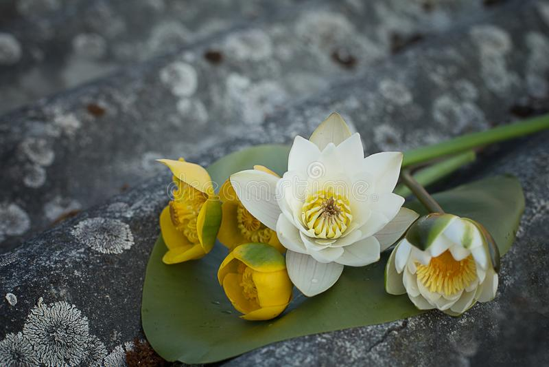 Boeket van witte lotuses en gele waterlelies op een grijze oude achtergrond stock foto