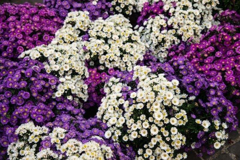 Boeketten van Species van de bloemensymphyotrichum van de bloemen de Witte en purpere aster, royalty-vrije stock afbeeldingen