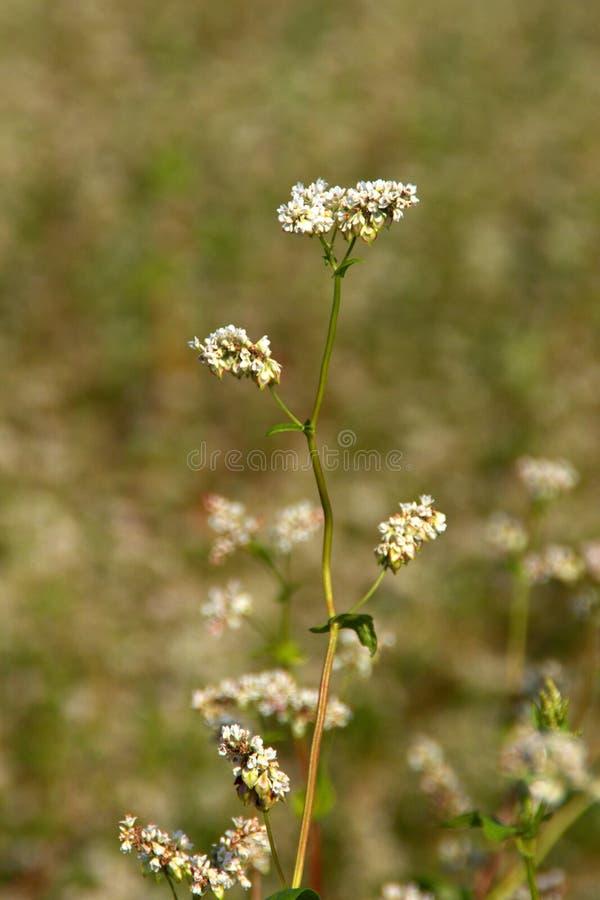 Boekweitbloemen stock afbeeldingen