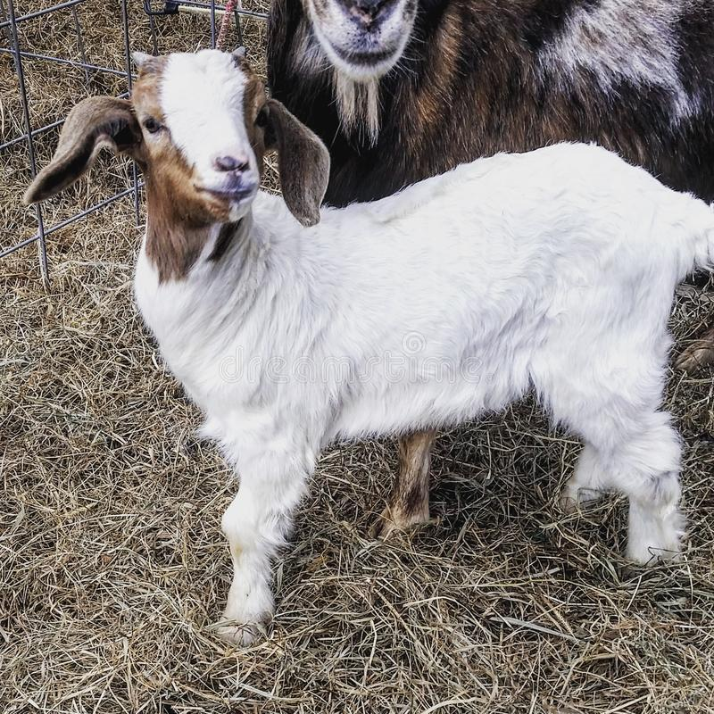 Boer baby buck goat royalty free stock images