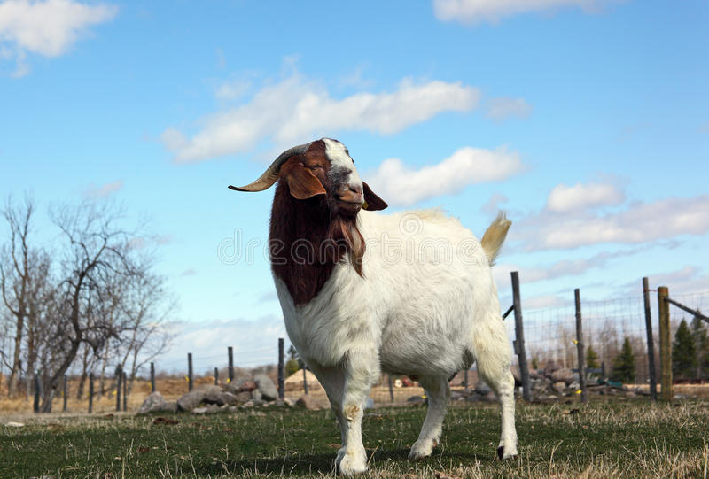 Boer Goat Buck. Full grown purebred African Boer Goat male (buck) standing in the pasture stock image