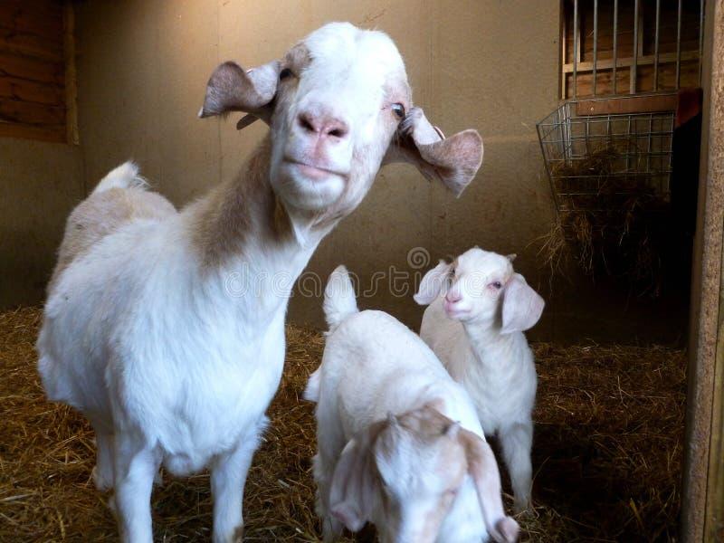 Boer Goat Family royalty free stock photo