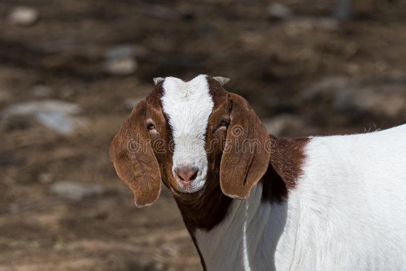 Boer Goat in Pasture. Boer goat in a pasture. This breed of goat that was developed in South Africa in the early 1900s for meat production. Their name is derived stock images