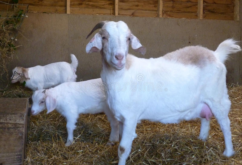 Boer Goat White with kids royalty free stock images
