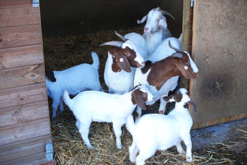 Boer Goats white brown stock photo