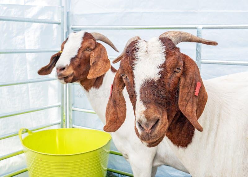 Boer-Ziegen, Hanbury-Landschafts-Show, Worcestershire, England lizenzfreie stockfotografie