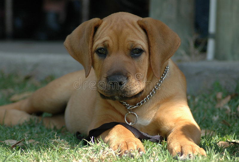 Download Boerboel puppy stock image. Image of boerboels, guard - 1089541