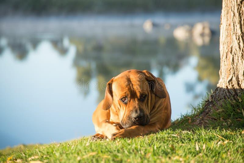 Boerboel que miente en hierba por el río imagen de archivo libre de regalías