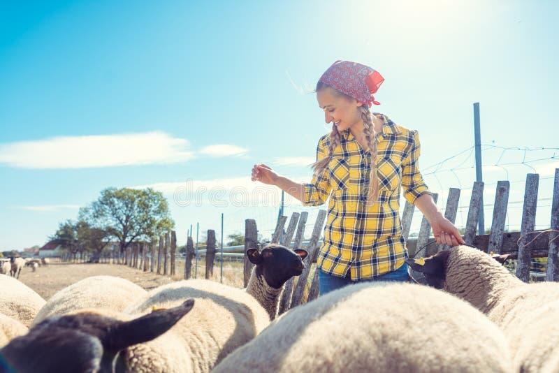 Boeren die haar schapen eten op de boerderij stock afbeeldingen